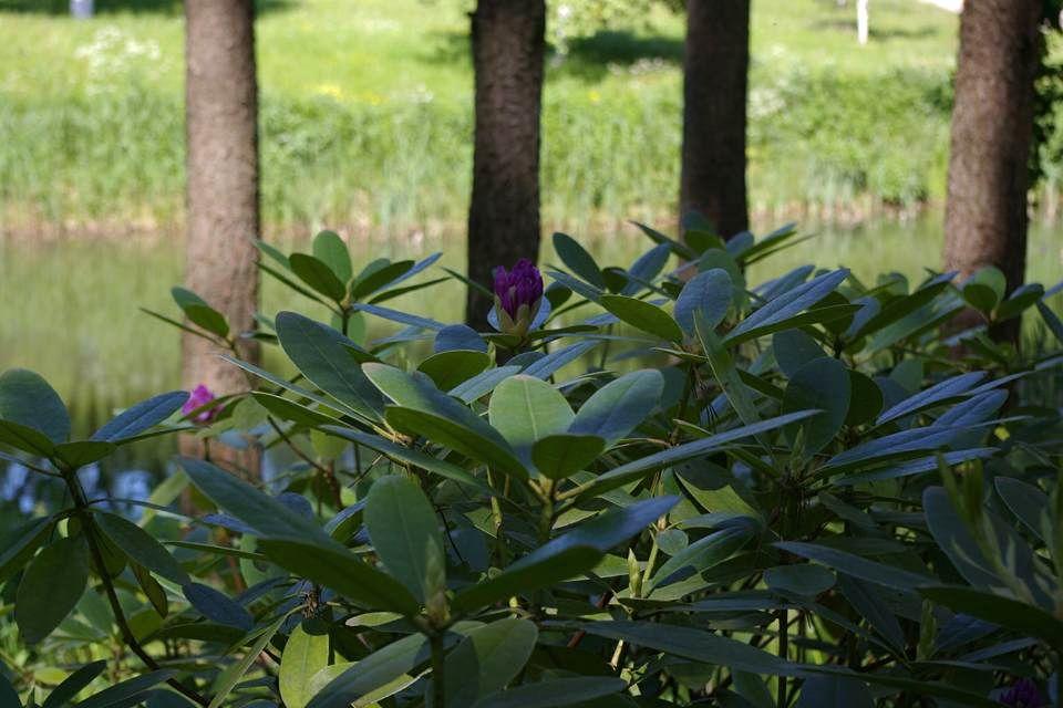 Rododendrai ir ąžuolai engia vieni kitus augdami greta. Foto: D.Liagienė