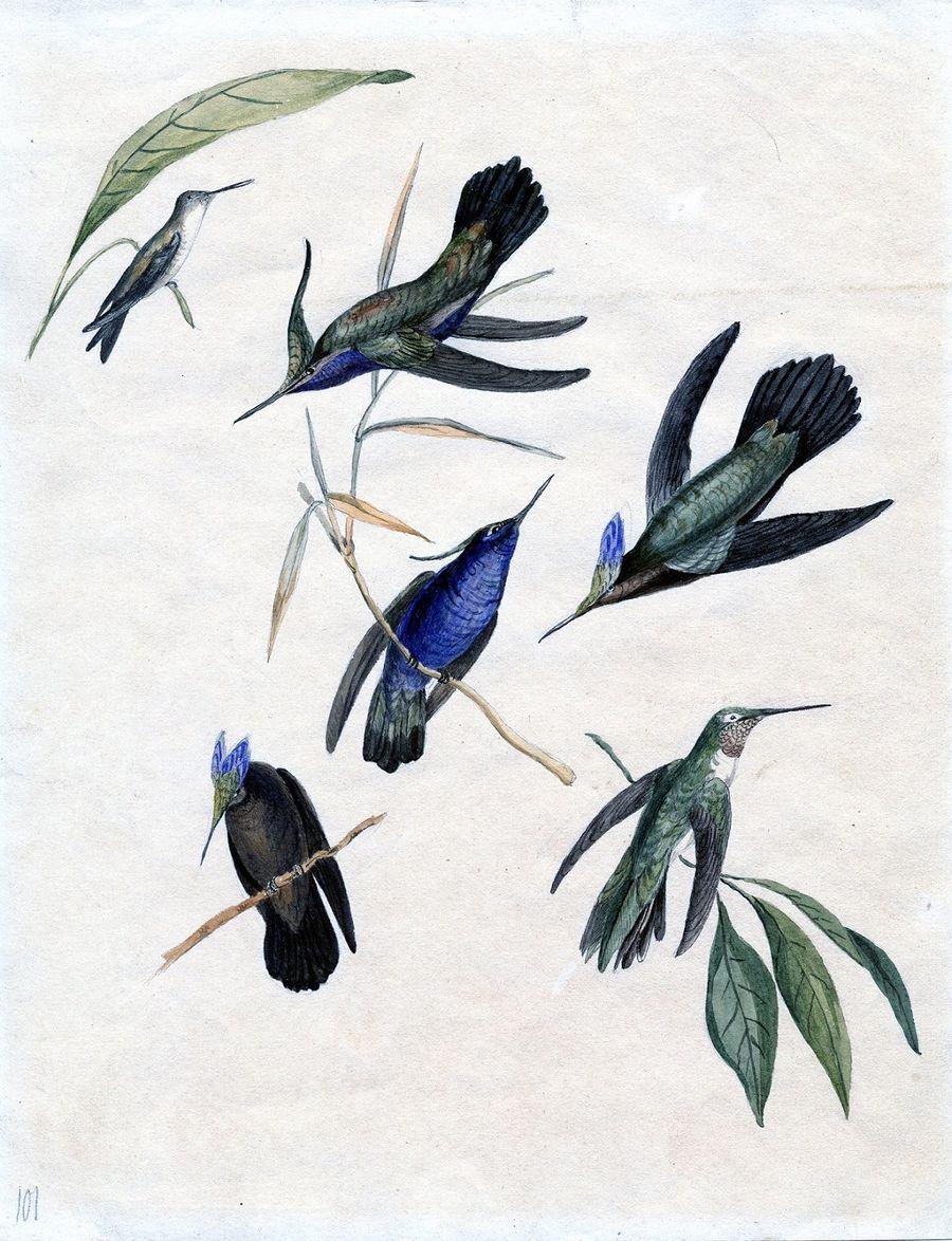 K.Tyzenhauzas, Keturi kolibriai, Rokiškio krašto muziejus