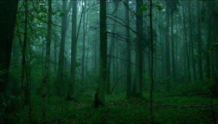 """Filmą """"Sengirė"""" rež. M.Survila nufilmavo paskutiniuose išlikusiuose senosios girios plotuose Lietuvoje. Pav.: iš filmo  """"Sengirė""""."""