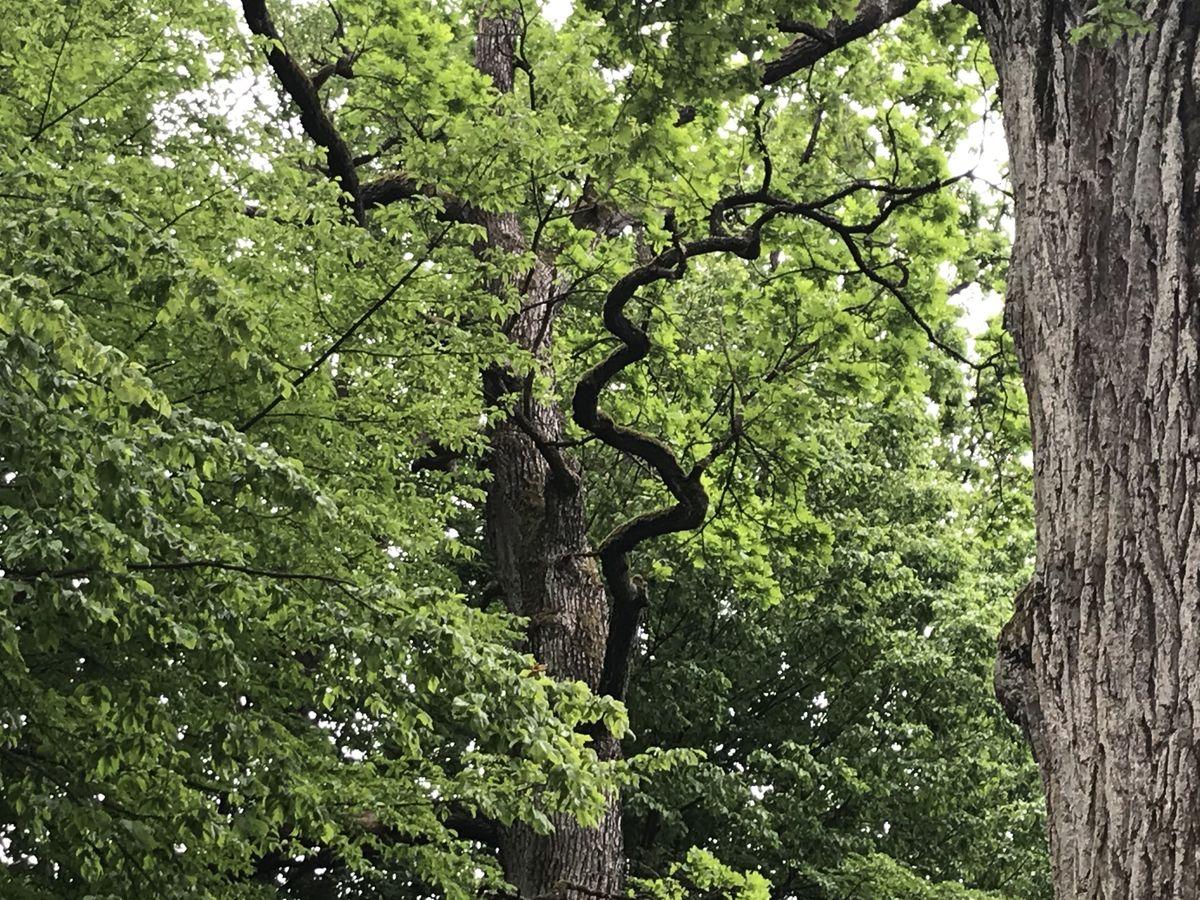 Kauno ąžuolynas